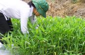 Hết thời người trồng rau bán riêng, rau ăn riêng?