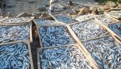 Phát hiện chất cực độc trong cá nục tại Quảng Trị