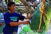 Kinh ngạc trăm trái bí đao khổng lồ nửa tạ lúc lỉu trên giàn