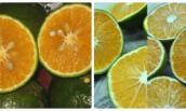 Chủ hàng hoa quả sạch chỉ cách nhận biết cam Trung Quốc
