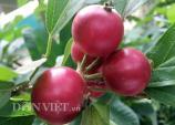 Lạ mắt cây quăng rừng trái chín lúc lỉu nhuộm đỏ cành
