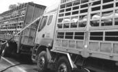 Đường đi của thịt lợn chết vào mâm cơm người lao động
