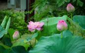 Vẻ đẹp của thung lũng hoa Hồ Tây mùa sen nở