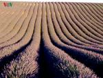 Cánh đồng oải hương mênh mang sắc tím ở Provence