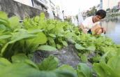 Tin an toàn thực phẩm hot 24h qua: Rau tự trồng vẫn có nguy cơ nhiễm kim loại nặng