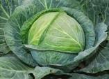 Cắt giảm cơn đau viêm khớp bằng bắp cải xanh