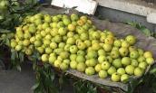 Sự thật về quả lê lạ siêu ngọt bán ở vỉa hè Hà Nội