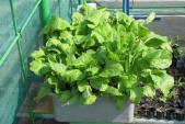 Những loại rau củ dễ gieo trồng vào mùa thu cho bà nội trợ