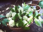 Tháng 8, thèm vị ngọt thơm của na Đồng Bành