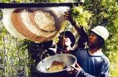 Cách dễ dàng phân biệt mật ong rừng, mật ong nuôi và mật ong pha trộn nước đường