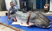 Sửng sốt nhà hàng Sài Gòn nhập cặp cá tra khủng 360kg từ Lào