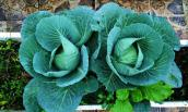 7 loại rau lớn nhanh như thổi nếu trồng trong tháng 9, 10