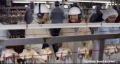 Cận cảnh xưởng chế biến gà hoành tráng của McDonald