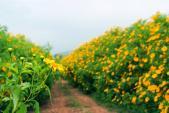 Quyến rũ mùa hoa dã quỳ tháng 10 ở Đà Lạt