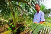 8.000 đồng/ trái, dừa xiêm lùn da xanh ở Bình Định