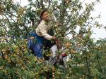 Kỹ thuật trồng táo mèo cho năng suất cao