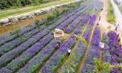 Hoa oải hương nở tím trên cao nguyên Lào Cai