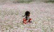 Lễ hội hoa tam giác mạch – Đến hẹn lại lên