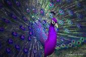 Kỳ lạ giống chim công lông tím tuyệt đẹp đại gia Việt lùng mua