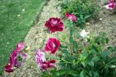 Khu vườn hơn 1.800 cây hoa hồng nở rực rỡ