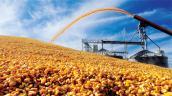 Việt Nam từ chối nhập bột bã ngô từ Mỹ vì nhiễm mọt nguy hiểm