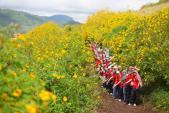 Một mùa hoa dã quỳ ở Ba Vì lại đến