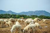 Đồng cừu ở Vũng Tàu - điểm check-in hot cuối tuần