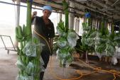 """Những trang trại hoa quả """"hái ra tiền"""" của lão nông Việt"""