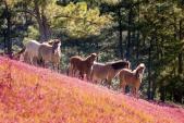 Ngẩn ngơ ngắm đồi cỏ hồng lãng mạn làm say lòng người ở Đà Lạt