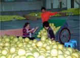 Bưởi vàng Trung Quốc trà trộn chợ Hà Nội