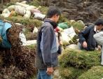 Thực hư chuyện thương lái Trung Quốc ồ ạt mua gom cây thông đất