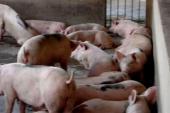 Cục Chăn nuôi đề xuất đưa chất tạo nạc Cysteamine thành chất cấm