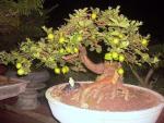 Chiêm ngưỡng chậu bonsai từ cây ăn quả cực độc để trưng Tết