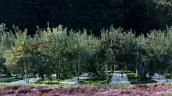 Đã mắt chiêm ngưỡng vườn táo trĩu quả ở Nhật Bản