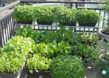 Giải pháp trồng rau sạch cho nhà chật, làm đẹp không gian