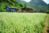 Hoa tam giác mạch trắng bung nở ở Lạng Sơn