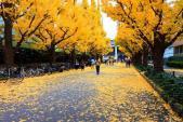 Đẹp mê say với mùa lá vàng ở Nhật Bản