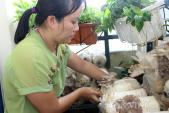 Dân Sài thành tự trồng nấm tại nhà: Sạch - rẻ - dễ