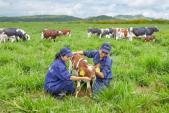 Trang trại bò sữa organic đầu tiên tại Việt Nam đạt chuẩn quốc tế