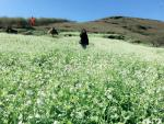 Hút hồn sắc trắng hoa cải phủ khắp núi đồi Mộc Châu