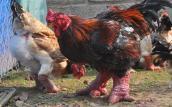 Cách chọn gà Đông Tảo 'xịn' cho Tết Đinh Dậu 2017