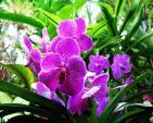 Kỹ thuật trồng, chăm sóc hoa phong lan nở đúng dịp Tết