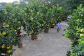 Ngắm cây bưởi ghép 200 quả giá hàng chục triệu ở HN