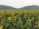 Kinh nghiệm đến thiên đường hoa hướng dương đẹp nhất Việt Nam