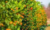 Cách chọn mua cây quất đẹp hợp phong thủy đón Tết
