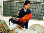 Đại gia săn lùng ráo riết mua gà 9 cựa, giá 50 triệu/con