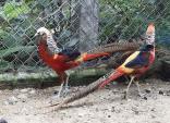 Khổng tước, chim trĩ 7 màu, gà lôi quý tộc giá khủng vẫn