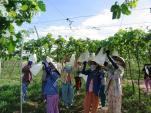 Ông chủ nho Ba Mọi tiết lộ quy trình trồng siêu sạch