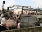 """Đề nghị không """"ngăn sông cấm chợ"""" đối với xe chở lợn sống"""