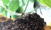 Hơn nửa chỉ vàng chưa chắc mua được một lít mật ong rú